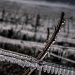 Winzer verzweifelt – Frost hat ein Drittel der Weinernte Frankreichs zerstört